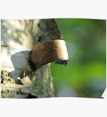 peeling birch bark Poster