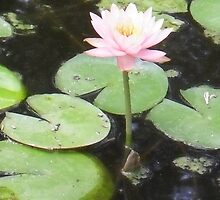 Water Lily, Pink Pond by Navigator