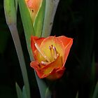 Dawn of a gladioli by Braedene