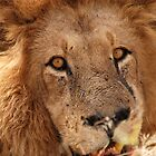 Male Lion - Okavango delta by Sharon Bishop
