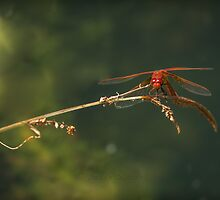 CARDINAL MEADOWHAWK by Sandy Stewart