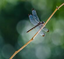 DragonFly by ctellis156