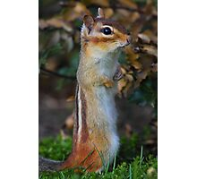 Standing Tall - Eastern Chipmunk Photographic Print