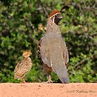 Gambel's Quail (Male) & Chick by Kimberly Chadwick