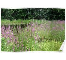 Hot July Evening in the Wetlands with Purple Loosestrife Wildflowers Poster