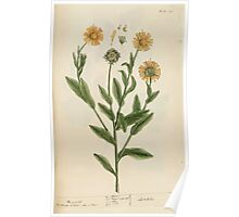 A curious herbal Elisabeth Blackwell John Norse Samuel Harding 1737 0274 Mary golds Marigold Marygold Poster