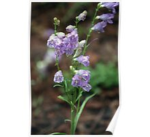 A Little Rain In The Forest, Pin Striped Penstemon Poster