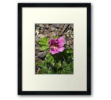 Beach Rose of Maine Framed Print