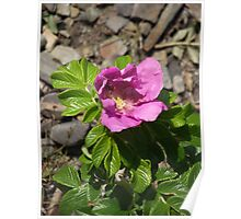 Beach Rose of Maine Poster