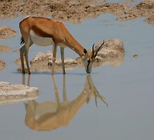 Springbok Reflection by naturalnomad