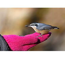 A Bird In The Hand / Red Breasted Nuthatch Photographic Print