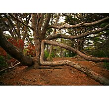 Ancient Forest - Antarctic Beech Photographic Print