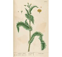 A curious herbal Elisabeth Blackwell John Norse Samuel Harding 1737 0086 Prickly Sow Thistle Photographic Print