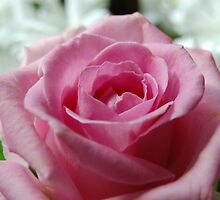 The significance of a rose by daintyriches