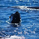 Majestic humpback whales 2 -Australia by Pernilla Ahnstrom