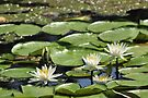 Lotus (aka Asian Water Lilly) by Kim McClain Gregal