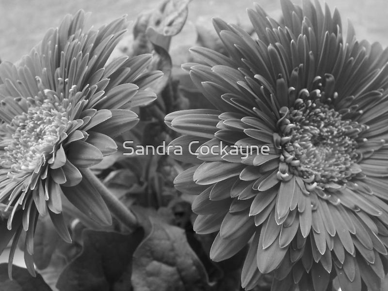 ~ Stunning Gerbera - B & W ~ by Sandra Cockayne