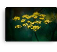 Fennel Flower Canvas Print