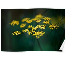 Fennel Flower Poster