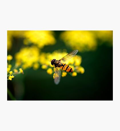 Fennel Fly Photographic Print