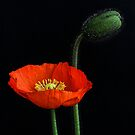 First Poppy by Barb Leopold