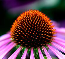 Coneflower by Paul Ridley