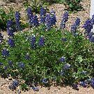 Bluebonnet of Texas by icesrun