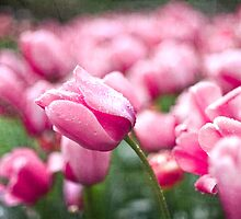 Field of Pink Tulips by eyeshoot