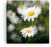Yellow and White Daisy. Canvas Print