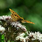 Silver washed fritillary by Russell Couch