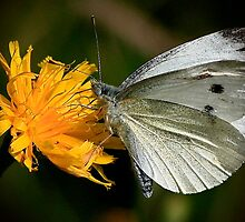 Large White by snapdecisions
