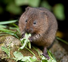 Water vole by Val Saxby