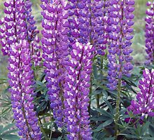 Purple Lupins by Tanya Rossi