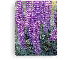Purple Lupins Canvas Print