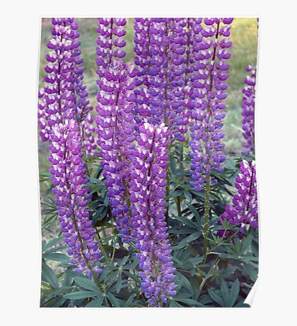 Purple Lupins Poster
