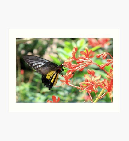 Golden Birdwing Butterfly (Troides aeacus) Art Print
