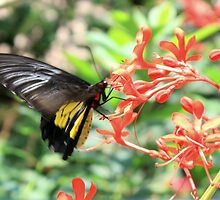 Golden Birdwing Butterfly (Troides aeacus) by AuntDot