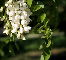 Acacia in blossom by elthar