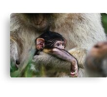 Two week old Barbary macaques Canvas Print