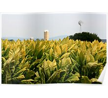 Tobacco fields Poster