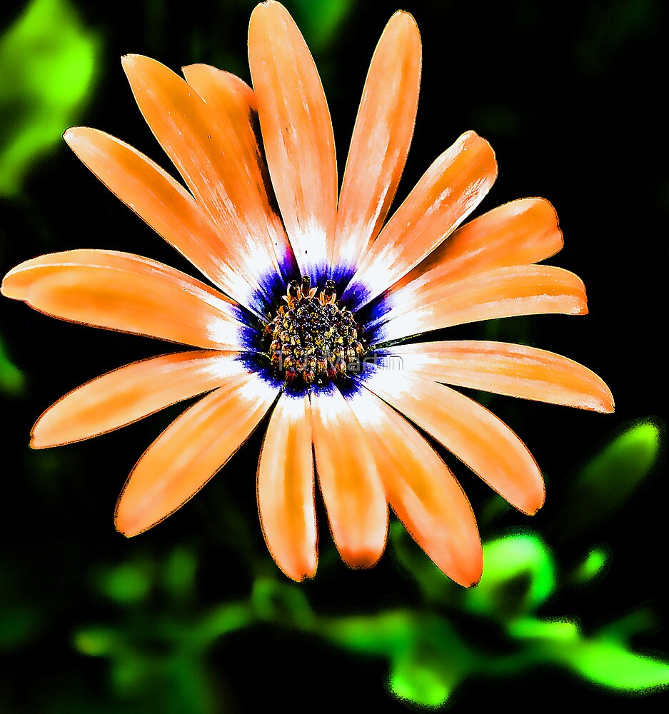 -Orange Symphony African Daisy by T.J. Martin