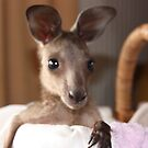Orphan Kangaroo, a joey, being raised by me by springplains