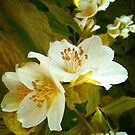 Philadelphus (mock orange) by mariarty