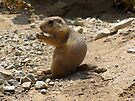 Black-tailed Prairie Dogs by Kimberly Chadwick