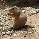 Black-tailed Prairie Dogs by Kimberly Chadwick