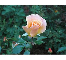 "Swirling ""buttercup"" rose Photographic Print"
