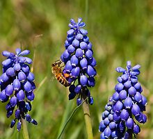 Wild Grape Hyacinths and Bee by Joe Elliott