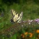 Tiger Swallowtail in the Museum Garden by Yuri Lev