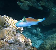Sea Parrot by photochunk