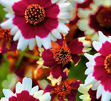 -Coreopsis - Jive Tickseed by T.J. Martin